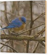 Blue Bird Perched On Willow Wood Print