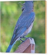 Blue Boy My Yard Bird Wood Print