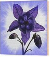 Blue Columbine Wood Print