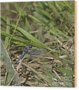 Blue Corporal Dragonfly Wood Print