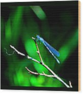 Blue Damsel Wood Print
