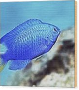 Blue Damselfish Wood Print