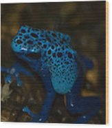 Blue Dart Frog Wood Print