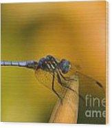 Blue Dasher - D007665 Wood Print