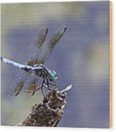 Blue Dasher Dragonfly Wood Print by Chris Hill