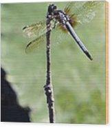 Blue Dasher Dragonfly Dancer Wood Print