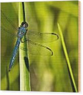 Blue Dragonfly 1 Wood Print