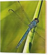 Blue Dragonfly 10 Wood Print