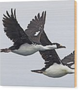 Blue-eyed Cormorant Phalacrocorax Wood Print