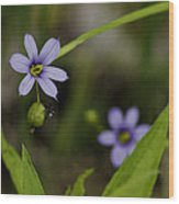 Blue Eyed Grass Wood Print