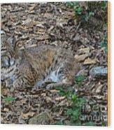 Blue Eyed Male Bobcat Wood Print