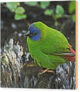 Blue Faced Parrot Finch Wood Print