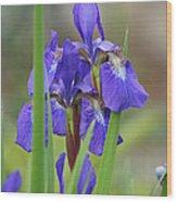Blue Flag Iris - Dsc03987 Wood Print