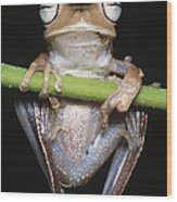 Blue-flanked Tree Frog Wood Print