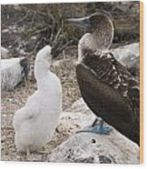 Blue-footed Booby Mother And Chick Wood Print
