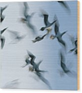 Blue-footed Booby Sula Nebouxii Flock Wood Print