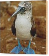 Blue-footed Booby Sula Nebouxii Wood Print by James P. Blair