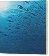 Blue Fusiliers, Similan National Marine Wood Print