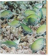 Blue-green Chromis On A Reef Wood Print