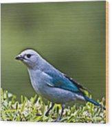 Blue-grey-tanager Wood Print