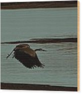 Blue Heron In Flight  Wood Print