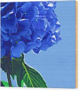 Blue Hortensia Hydrangea Wood Print