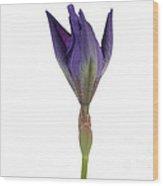 Blue Iris Blooming Wood Print