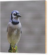 Blue Jay In The Pine Wood Print