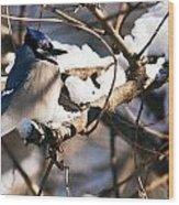 Blue Jay Staying Warm Wood Print