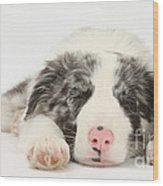 Blue Merle Border Collie Pup Wood Print