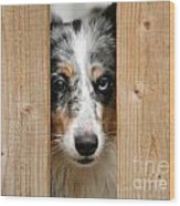 Blue Merle Sheltie Wood Print by Kati Molin