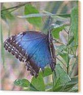 Blue Morpho Wood Print