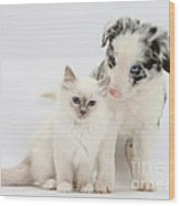 Blue-point Kitten And Border Collie Wood Print