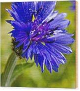 Blue Single Cornflower Wood Print