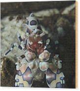 Blue Spotted Harlequin Shrimp, Bali Wood Print