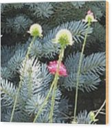 Blue Spruce And A Wish Wood Print by Shawn Hughes