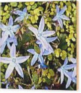 Blue Star Flowers Wood Print