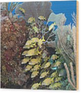 Blue Striped Grunts Schooling Wood Print