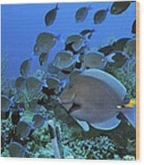 Blue Tang Surgeonfish Wood Print by Georgette Douwma