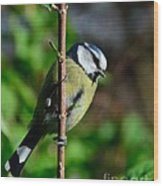Blue Tit Wood Print