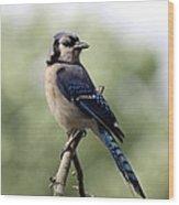 Bluejay - Bird Wood Print