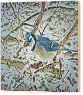 Bluejay In Birches Wood Print