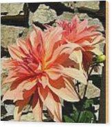 Blushing Peach Dahlias Wood Print