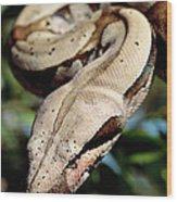 Boa Constrictor Boa Constrictor Wood Print