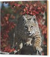 Bobcat Felis Rufus Walks Along Branch Wood Print
