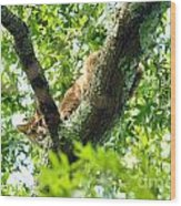 Bobcat In Tree Wood Print