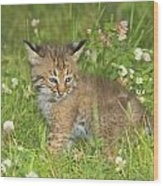 Bobcat Kitten Wood Print by John Pitcher