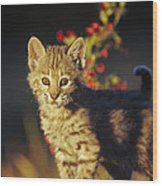 Bobcat Kitten Standing On Log North Wood Print by Tim Fitzharris