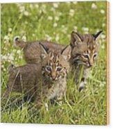 Bobcat Kittens Wood Print