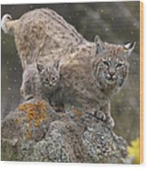 Bobcat Mother And Kitten In Snowfall Wood Print by Tim Fitzharris